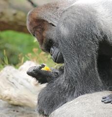 western lowlandgorilla Bokito Blijdorp BB2A0095 (j.a.kok) Tags: animal africa afrika aap ape mammal monkey mensaap primate primaat zoogdier dier gorilla westelijkelaaglandgorilla westernlowlandgorilla lowlandgorilla laaglandgorilla blijdorp bokito zilverrug silverback