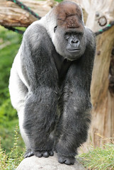 western lowlandgorilla Bokito Blijdorp BB2A0065 (j.a.kok) Tags: animal africa afrika aap ape mammal monkey mensaap primate primaat zoogdier dier gorilla westelijkelaaglandgorilla westernlowlandgorilla lowlandgorilla laaglandgorilla blijdorp bokito zilverrug silverback