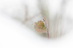 In the Snow (PriscillaHernandez85) Tags: canon550d closeup proxy tamron18400 eos550d nature neige snow