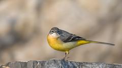 Gebirgsstelze (wsprecher) Tags: motacilla cinerea gebirge gebirgsstelze bergstelze stelzen vögel singvögel rheintal wildlife