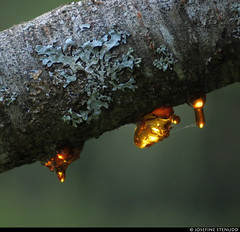 20190726_22 Blobs of sap on lichen-encrusted cherry branch | Kinnekulleleden, Västergötland, Sweden (ratexla) Tags: ratexlaskinnekulleledenhike2019 kinnekulleleden 26jul2019 2019 kinnekulle canonpowershotsx50hs västergötland sweden sverige scandinavia scandinavian europe earth tellus travel travelling traveling journey epic photophotospicturepicturesimageimagesfotofotonbildbilder wanderlust vacation holiday semester trip backpacking resaresor europaeuropean sommar summer ontheroad nordiccountries norden skandinavien hiking hike beautiful vandra vandring nature childfree sap sav kåda cherry tree körsbärsträd lichen lav plant plants pretty cool biology botany life organism växt växter favorite gsgsgs