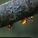 20190726_22 Blobs of sap on lichen-encrusted cherry branch | Kinnekulleleden, Västergötland, Sweden