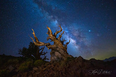 Milky Way Over the Bristlecone Forest (Mimi Ditchie) Tags: bristleconepine milkyway astrophotography night nightsky stars getty gettyimages mimiditchie mimiditchiephotography lightpainting ancientbristleconepineforest
