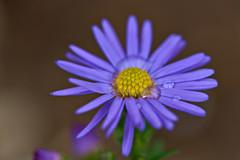 Blue Aster (pstenzel71) Tags: blumen natur pflanzen aster darktable flower bokeh raindrop