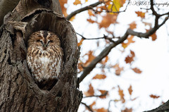 Tawny Owl (KJB Photography.) Tags: tawny owl perched park oak tree nature wildlife