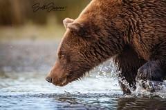 Focused... (DTT67) Tags: nature animal canon mammal wildlife bear grizzlybear coastalbrownbear alaska lakeclark 500mmii canon1dxmkii 1dxmkii