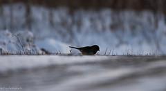 (sebsphotosadv) Tags: gatineau nikon200500mmf56 nikond850 wildlife birdphotography winter bird snow
