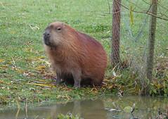 Capybara Yorkshire Wildlife Park (ec1jack) Tags: yorkshirewildlifepark yorkshire wildlife park doncaster england britain uk europe animal zoo november ec1jack kierankelly outings tourist attraction capybara