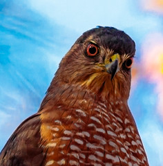 Hawk Close up (ktacia) Tags: arborhills bird closeup hawk plano texas tree arborhillsnaturepreserve