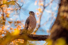Hawk wide Angle (ktacia) Tags: tree nature hawk texas bird plano arborhillsnaturepreserve arborhills redtail autumn fall