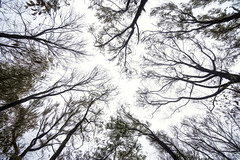 Looking Up (JMS2) Tags: trees nature scenic treetops autumn marshlands