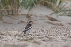 Snow Bunting-5059040 (seandarcy2) Tags: birds wild wildlife uk seaside wintertononsea dunes bunting snow snowbunting avian