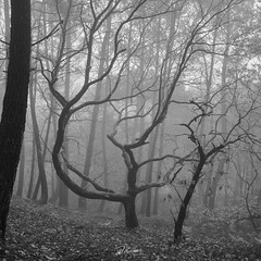 Waiting for Winter (PhrozenTime/WAHLBRINKPhoto) Tags: geography europe french france brittany illeetvillaine poligné tertregris sessileoak biology plant tree deciduous quercusrobur pedunculateoak englishoak commonoak quercuspetraea cornishoak durmastoak bw blackandwhite bnw nb weather foggy fog timeofyear autumn fall timeofday morning betulapendula bouleauverruqueuxoubouleaublanc sweetchestnut illeetvilaine35