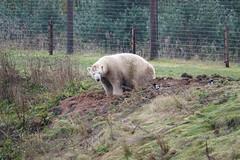 Polar Bear at Yorkshire Wildlife Park (ec1jack) Tags: yorkshirewildlifepark yorkshire wildlife park doncaster england britain uk europe animal zoo november ec1jack kierankelly outings tourist attraction polarbear