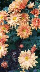 (sftrajan) Tags: autumn flowers orange flores sanfranciscobotanicgarden jardinbotanique sanfrancisco strybingarboretum