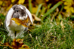 Photo (BadSoull) Tags: photo prague animal bunny 2019 pet cute outside leaf sony mirrorless a6300