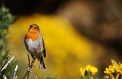 Robin (1V4A0028) (shelleyK2) Tags: robin bird nature wildlife gorse onchan isleofman kingedwardbay springwatch autumnwatch sigma canoneos7dmarkii