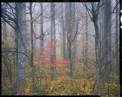 Lone Maple in the Fog (AlexBurke) Tags: film 4x5 landscape forest intimate fog maple red autumn fall color appalachia virginia provia fuji
