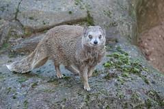 Mongoose at Yorkshire Wildlife Park (ec1jack) Tags: yorkshirewildlifepark yorkshire wildlife park doncaster england britain uk europe animal zoo november ec1jack kierankelly outings tourist attraction mongoose