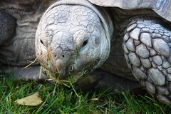 Tortoise at Yorkshire Wildlife Park (ec1jack) Tags: yorkshirewildlifepark yorkshire wildlife park doncaster england britain uk europe animal zoo november ec1jack kierankelly outings tourist attraction tortoise
