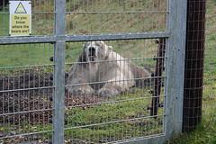 Where are the bears? (ec1jack) Tags: yorkshirewildlifepark yorkshire wildlife park doncaster england britain uk europe animal zoo november ec1jack kierankelly outings tourist attraction polarbear