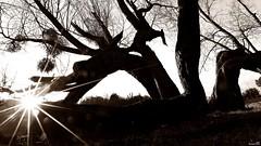 Sensualité (Un jour en France) Tags: contrejour arbre noiretblanc noiretblancfrance canonef1635mmf28liiusm canoneos6dmarkii eos sensuelle sensualité soleil