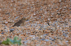 Stone-curlew     Burhinus oedicnemus  Dungeness NNR (GrahamParryWildlife) Tags: add tags grahamparrywildlife sigma 150600 sport 150 600 canon 7d mkii outdoor animal depth field mk2 uk kent rspb viewing photo flickr new sunlight up blue dof kentwildlife dungeness sea water nnr bird plumped cold plumage stonecurlew burhinus oedicnemus heavy crop