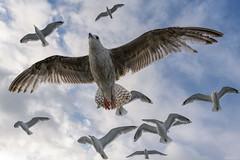 Flying With Gulls (ttarpd) Tags: norway flatanger lauvsnes olemartindahle norwaynature wild wildlife nature europe gull seabird bird