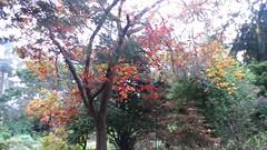 (sftrajan) Tags: autumn tree november sanfranciscobotanicgarden jardinbotanique sanfrancisco strybingarboretum