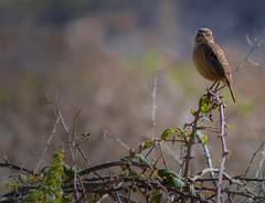 """""""SMALL SPARROW"""" #photooftheday #photography #pentaxkx #paisajes #aves #sparrow #naturaleza #nature #landscape #saffsunset #vilagarciadearousa #vga_viva #VisitaOSalnés #vilagart #galeoska #galicia #galiciapasion #galiciavisión #galiciamaxica #queverengalic (saffsunset) Tags: photooftheday pentaxkx galiciavisión nature saffsunset galiciamaxica vgaviva galeoska disfrutargalicia aves vilagarciadearousa vilagart galicia naturaleza galiciapasion visitaosalnés sparrow queverengalicia paisajes photography landscape"""