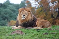 Lion at Yorkshire Wildlife Park (ec1jack) Tags: yorkshirewildlifepark yorkshire wildlife park doncaster england britain uk europe animal zoo november ec1jack kierankelly outings tourist attraction lion