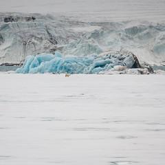 Polar Bear in front of a blue iceberg - 1x1 (swissgoldeneagle) Tags: свальбард svalbard z7 nikon eisbaer 1x1 polarbear шпицберген norway белыймедведь полярныймедведь spitzbergen spitsbergen wildlife ursusmaritimus wildlifephotography nikon80400mmvr спитсберген северныймедведь eisbär longyearbyen svalbardundjanmayen
