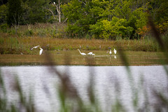 _U7A5004 (rpealit) Tags: scenery wildlife nature edwin b forsythe national refuge brigantine great egrets egret bird