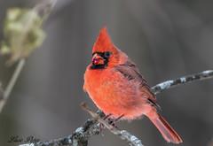 Cardinal (Lucie.Pepin1) Tags: birds oiseaux cardinal nature wildlife faune fauna luciepepin canon7dmarkii canon300mml