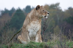 Lioness at Yorkshire Wildlife Park (ec1jack) Tags: yorkshirewildlifepark yorkshire wildlife park doncaster england britain uk europe animal zoo november ec1jack kierankelly outings tourist attraction lion lioness