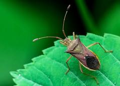 Cletus punctiger (Supratim1989) Tags: bug hemiptera heteroptera coreidae coreidbug cletuspunctiger pest vegetablepest insect wildlife wildinsect insectmacro canon macro insectphotography canon7dmkii