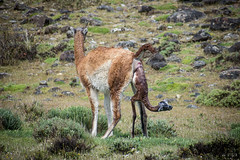 Guanaco (Fem) Delivering (era.ph) Tags: love mother mum loving caring natgeo safari patagonia torres del paine parque park national nacional chile guanaco lama guanicoe birth deliver cute full days nature neverstopexploring iggers instagram era animal kingdom chileno bloggers explore flickr thankful beautiful geographic nikon nikond5300 70300 zoom nacimiento conservancy sustainable