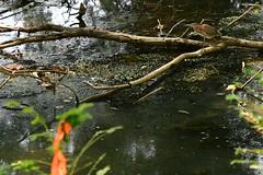 Green Heron (Les Traveller) Tags: lancaster pa pennsylvania susquahanna