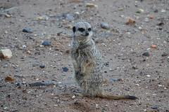 Meerkat at Yorkshire Wildlife Park (ec1jack) Tags: yorkshirewildlifepark yorkshire wildlife park doncaster england britain uk europe animal zoo november ec1jack kierankelly outings tourist attraction meerkat