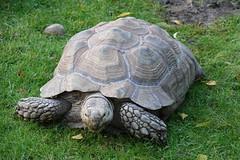 Tortoise at Yorkshire Wildlife Park (ec1jack) Tags: park uk november england animal zoo europe britain wildlife yorkshire tourist outings attraction doncaster kierankelly ec1jack yorkshirewildlifepark tortoise