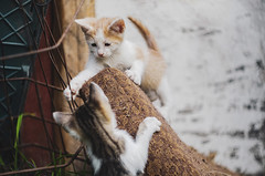 (DianePL) Tags: cat cats funnycats nature nikon natural vintageprimes vintagelens vintage animal animals funny urban urbannature helios helios44m manual m42 poland polska pastel pet neko gato