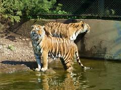 jeder guckt in eine andere Richtung- Tiger im Tierpark Hagenbeck (evi früher evioletta) Tags: hamburg tierpark tiger wasser