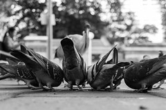 ...the feed and the odd one out... (Utopia_Seeker73) Tags: rx1rii rx1r2 rx1rm2 blackandwhite blackandwhitephotography monochromaticphotography classic noirphoto blackandgrey blackwhite bnw bnwlife black white classicphotography creative monochrome sonyrxmoments ilovesydney sydneybnw artistic artphoto composition fineart monochromatic art zeisslens 35mmstreetphotography zeiss 35mm