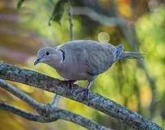 His Curiosity (ACEZandEIGHTZ) Tags: eurasiancollareddove tree perched branch bokeh nature bird avian nikond3200 feathers backyard birdwatcher streptopeliadecaocto macro closeup coth coth5 sunrays5