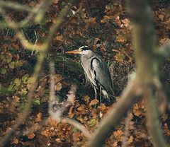Heron Hunting (NanashiNoProfile) Tags: loch leven rspb heritage kinross scotland kinrossshire perthshire walk walking canon 700d autumn autumnal november