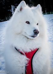 Blizzard à l'aguet (Kilian Sanlis) Tags: neige snow winter hiver la bresse vosges nature wild motherwood hiking randonnée chien dog animal samoyede samoyed nordique nordic