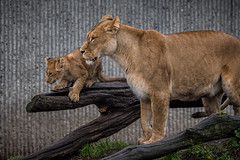 ZOO - Lions (6 of 12) (abenche) Tags: lion lions lioncubs cubs animals predator africa