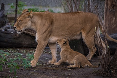 ZOO - Lions (1 of 12) (abenche) Tags: lion lions lioncubs cubs animals predator africa