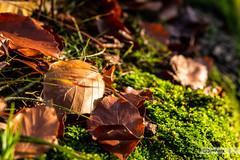 (der-kruemel) Tags: 1835 1835mm 70d canon canoneos70d deutschland eos flora germany groserfeldberg herbst hessen jahreszeiten laub moos seasons sigma sigma1835mm sigma1835mmf18 sigma1835mmf18dchsm taunus wald forest wood