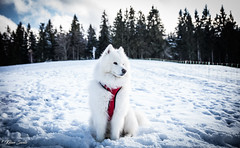 Blizzard (Kilian Sanlis) Tags: neige snow winter hiver la bresse vosges nature wild motherwood hiking randonnée chien dog animal samoyede samoyed nordique nordic